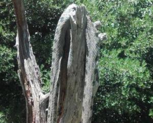 Ευρυτανία: Κοίταξαν το δέντρο και είδαν να κρέμεται αυτό το τεράστιο φίδι των 2,5 μέτρων [pics]