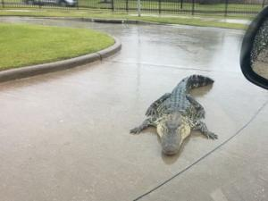 Χάρβεϊ: Οι πλημμύρες φέρνουν αλιγάτορες στους δρόμους! Φόβοι για 350… αποδράσεις