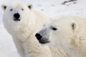 Φινλανδία: Νταλίκες με χιόνι είναι το «δώρο» σε πολικές αρκούδες πάρκου