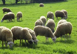 Ηράκλειο: Βρήκαν τα κλεμμένα πρόβατα σε ξένη στάνη!