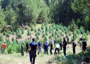 Καλλιεργούσε χασισοφυτεία στο δάσος Αιγιάλειας