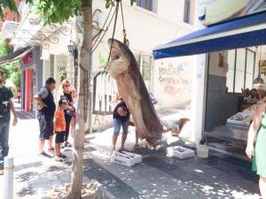 Αγρίνιο: Πεντανόστιμος μεζές βάρους 300 κιλών – Η μεγάλη ψαριά ανοιχτά της Κεφαλονιάς [pics]