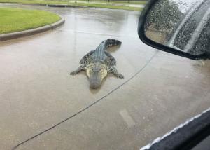 Τυφώνας Χάρβεϊ: Έβγαλε αλιγάτορες στους δρόμους! [pics]