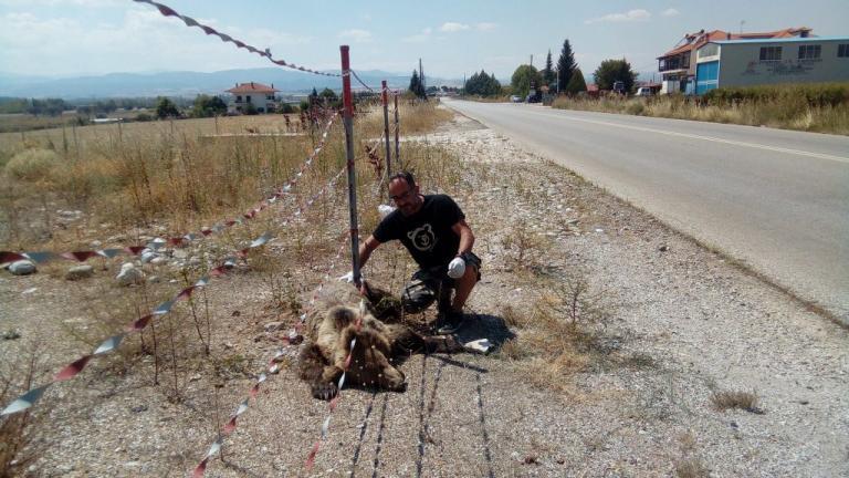 Κι άλλο νεκρό αρκουδάκι! Το παρέσυρε αυτοκίνητο | Newsit.gr