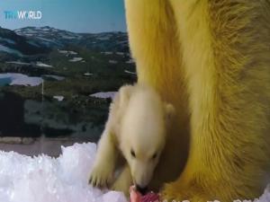 Θα λιώσετε! Πολική αρκούδα κάνει τα πρώτα της βήματα [vid]