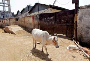 Λιντσάρουν και δολοφονούν όσους τρώνε αγελάδες στην Ινδία