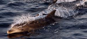Πανέρμορφο θέαμα! Εμφανίστηκαν δελφίνια στην παραλία της Ακράτας [vid]