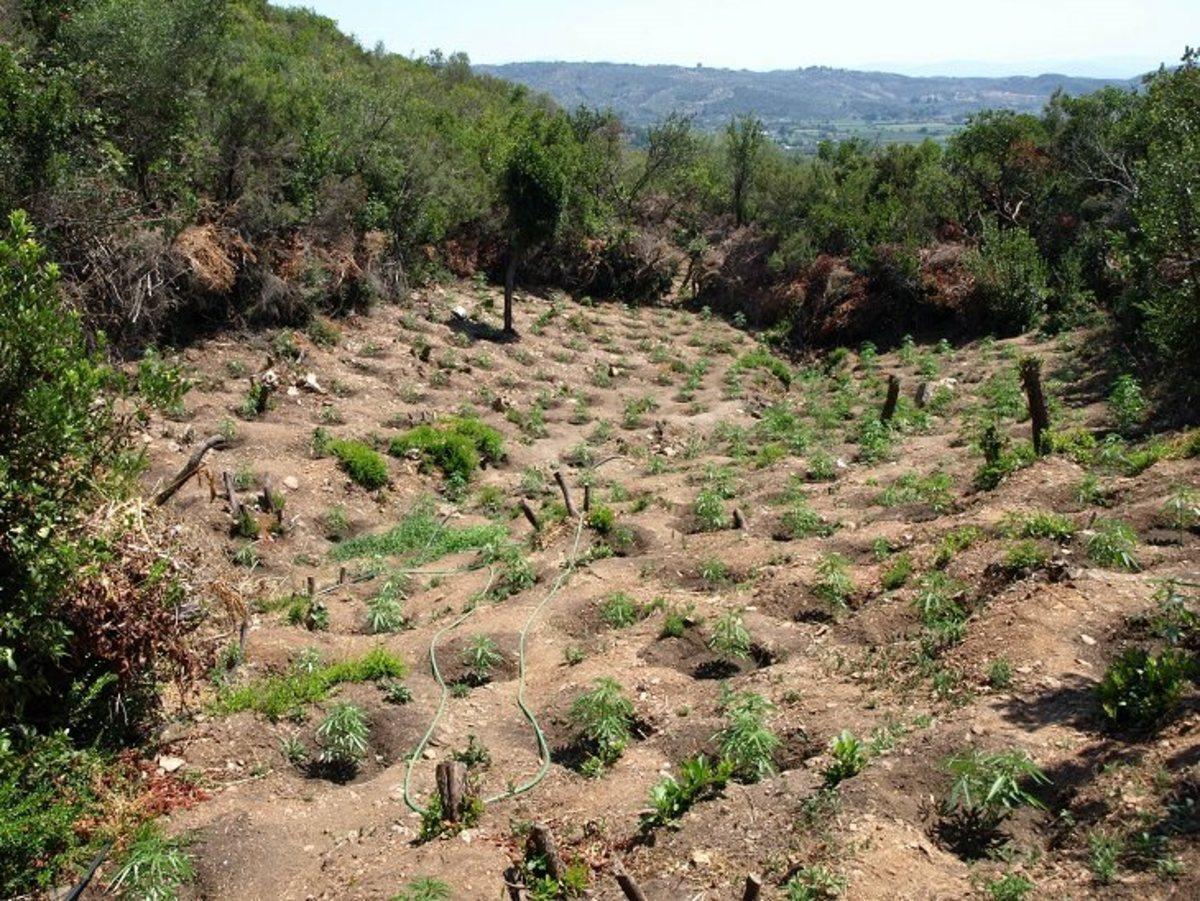 Λακωνία: Το δάσος με τα χασισόδεντρα και οι συζητήσεις που αποδείχθηκε πως είχαν βάση [pics] | Newsit.gr