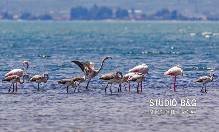 Πανέμορφα φλαμίνγκο… ξαποσταίνουν στο Ναύπλιο! [pics] | Newsit.gr