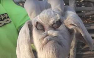 Φόβος και τρόμος στην Αργεντινή η κατσίκα με το ανθρώπινο πρόσωπο! [pics, vid]