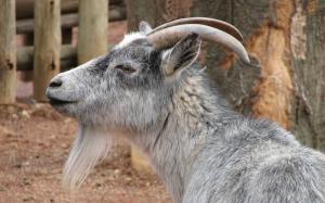 Αντίπαρος: Έπεσε από γκρεμό για… να σώσει μια κατσίκα – Σε κρίσιμη κατάσταση 60χρονος