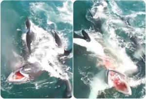 Κοπάδι από σαρκοβόρες όρκες καταδίωξε και κατασπάραξε φάλαινα! Σοκαριστικό βίντεο