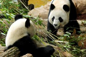 Γαλλία: Δίδυμα περιμένει το θηλυκό πάντα του ζωολογικού κήπου του Μποβάλ