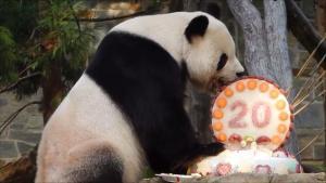 Μια τούρτα για τον Τιαν Τιαν – Το γιγάντιο πάντα έγινε 20 χρονών! [vids]