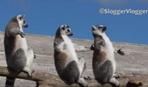 Πώς κάνουν ηλιοθεραπεία οι λεμούριοι [vid]