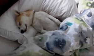 Κουτάβι κάνει το κοιμισμένο για να μην πάει στον κτηνίατρο!
