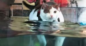 Αυτή η γάτα ζυγίζει 14 κιλά και μπήκε σε εντατικό πρόγραμμα αδυνατίσματος! [vid]