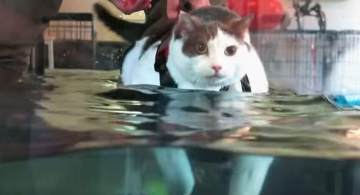 Αυτή η γάτα ζυγίζει 14 κιλά και μπήκε σε εντατικό πρόγραμμα αδυνατίσματος! [vid] | Newsit.gr