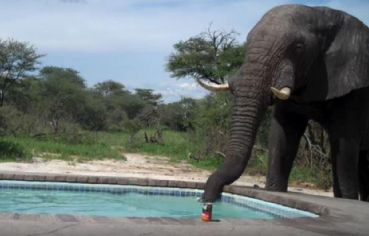 Ελέφαντας «κάνει ντου» σε πάρτι με πισίνα! [vid]
