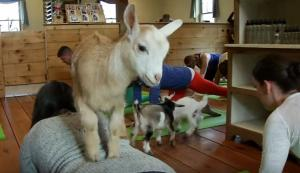 Γιόγκα με κατσίκες! Το νέο trend του Καλοκαιριού!