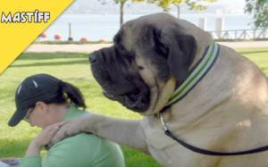 Τα πιο μεγαλόσωμα σκυλιά του κόσμου είναι και τα πιο χαριτωμένα!