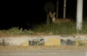 Μακεδονία – Θράκη: Εμβολιασμοί από αέρος κατά της λύσσας για τις κόκκινες αλεπούδες!