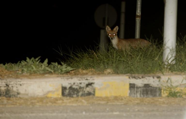 Μακεδονία – Θράκη: Εμβολιασμοί από αέρος κατά της λύσσας για τις κόκκινες αλεπούδες! | Newsit.gr