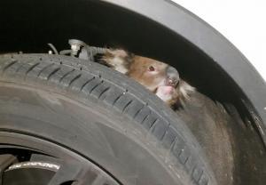 Κοάλα επέζησε αφού ταξίδεψε για 16 χλμ. στη ρόδα αυτοκινήτου