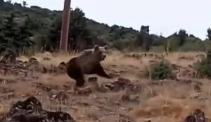 Καστοριά: Έβγαλε το σκύλο βόλτα και έπεσε πάνω σε… αρκούδες! [vid]