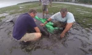 Κυκλώνας Ίρμα: Θαλάσσιες αγελάδες βγήκαν στη στεριά!