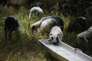 Κρούσμα ευλογιάς του προβάτου σε κοπάδι στη Λέσβο
