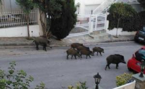 Θεσσαλονίκη: Αγριογούρουνα κόβουν… βόλτες έξω από τα σπίτια! [pic]