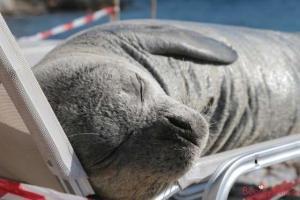 Σάμος: Η Αργυρώ είναι η φώκια που σκότωσαν άγνωστοι