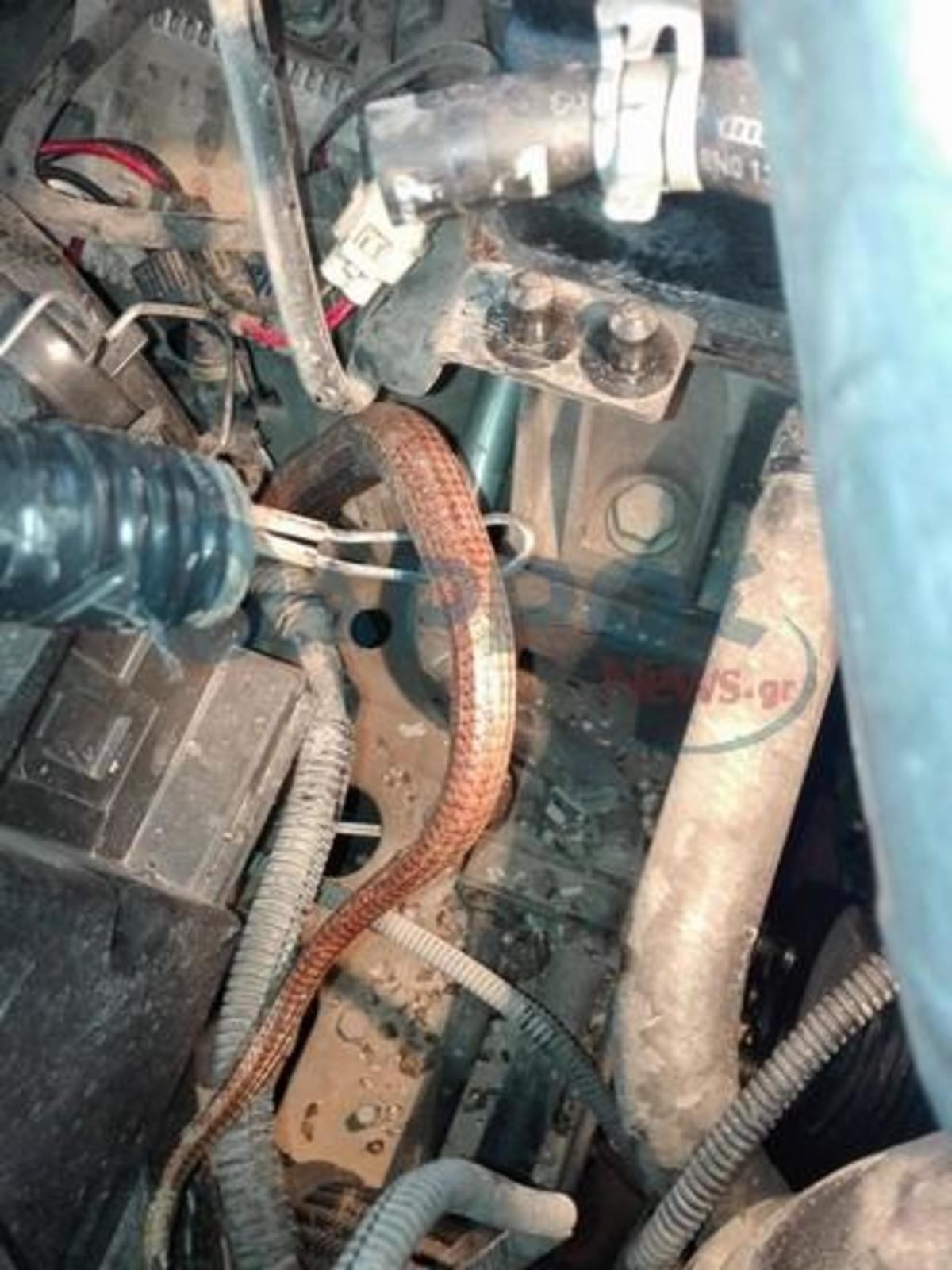Φίδι διέλυσε τη μηχανή αυτοκίνητου στην Καλαμάτα [pics] fidi2