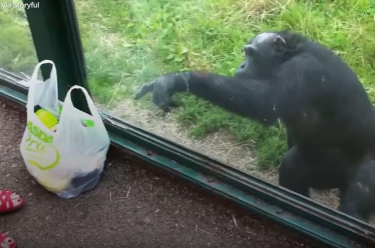 Αυτός ο χιμπατζής ήξερε πολύ καλά τι ήθελε από τη σακούλα!   Newsit.gr