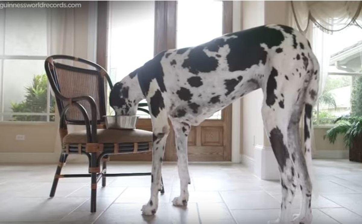 Ο ψηλότερος θηλυκός σκύλος του κόσμου   Newsit.gr