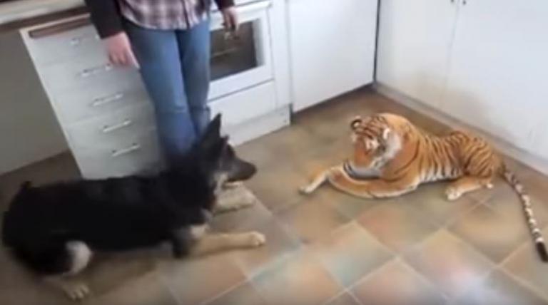 Σκύλος φρικάρει με ένα λούτρινο λιοντάρι! | Newsit.gr