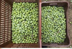 Χαλκιδική: Εξαρθρώθηκε σπείρα που έκλεβε… ελιές!