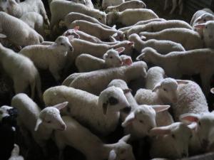 Αιτωλοακαρνανία: Κεραυνός «χτύπησε» στάνη – Πενήντα ζώα νεκρά!
