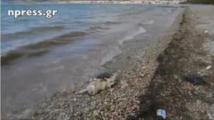 Nεκρή χελώνα καρέτα – καρέτα ξεβράστηκε στη Ναύπακτο [vid]