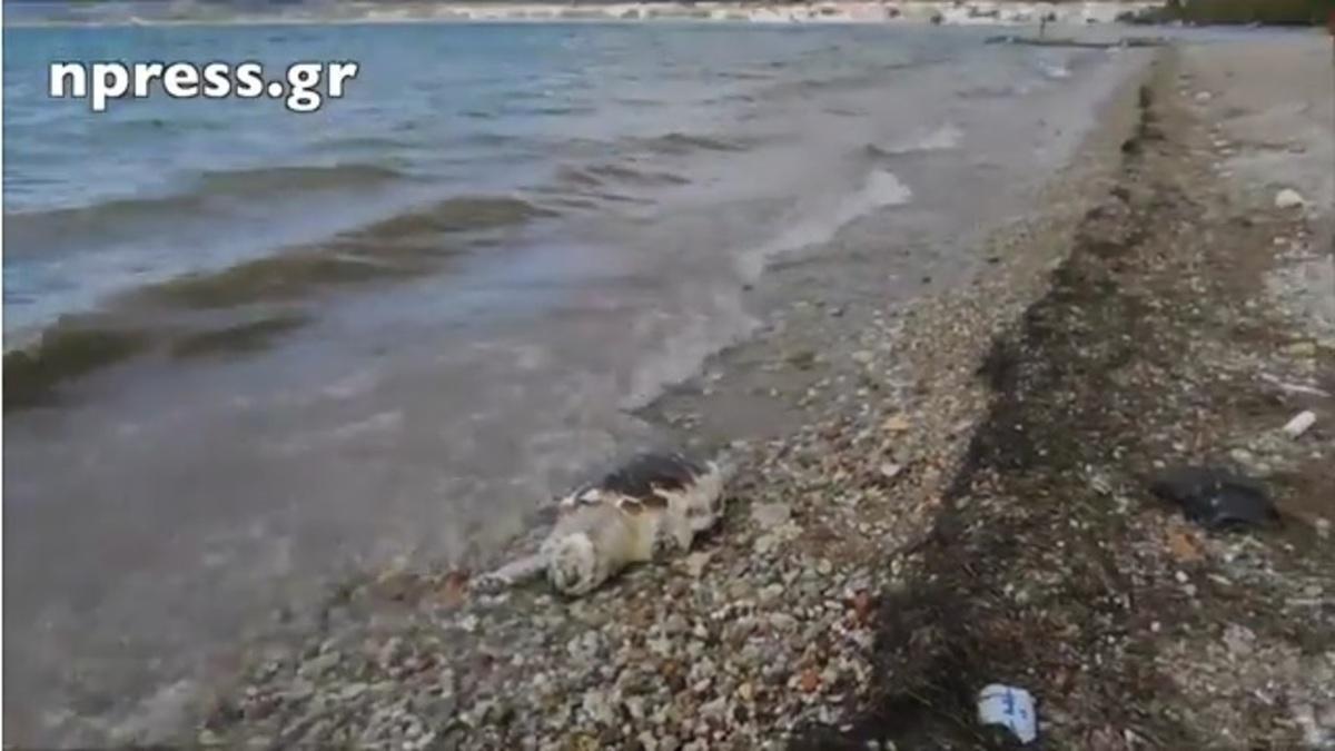 Nεκρή χελώνα καρέτα – καρέτα ξεβράστηκε στη Ναύπακτο [vid] | Newsit.gr