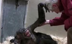Το τελευταίο αντίο ετοιμοθάνατου χιμπατζή στον καλύτερό της φίλο [vid]