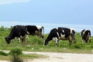 Συλλήψεις στην Κίμωλο για το δέσιμο ζώων