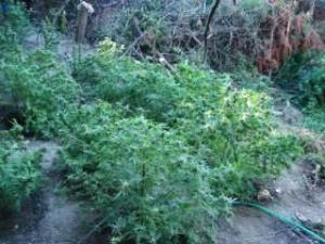 Ιωάννινα: Καλλιεργούσαν 100 δενδρύλλια κάνναβης – Από την Ηλεία ο αρχηγός