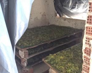 Καλλιεργούσαν χασίς στην Καβάλα για να κάνουν εξαγωγή στη Γερμανία! [pics]