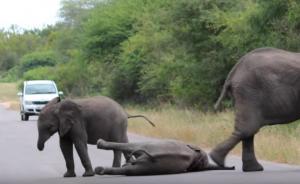 Ελεφαντάκι που νυστάζει ξαπλώνει στη μέση του δρόμου – Αυτοκίνητα το περιμένουν για ώρες!