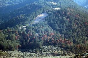 Ένα σκαθάρι έχει καταστρέψει τα πεύκα στη Βόρεια Θάσο