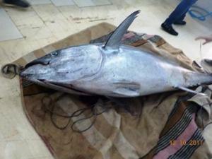 Λευκάδα: Ψαριά για όσκαρ! Τόνος 165 κιλών [pics]