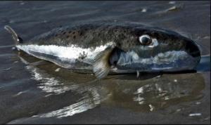 Φθιώτιδα: Λαγοκέφαλοι στα δίχτυα ψαρά στον Μαλιακό κόλπο – Τι διαπίστωσαν ιχθυολόγοι…