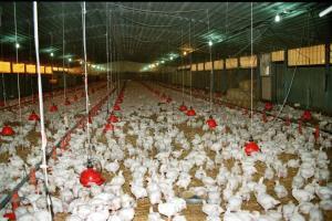 Πειραιάς: Κοτόπουλα που… δάγκωναν εντοπίστηκαν σε γνωστό ψητοπωλείο